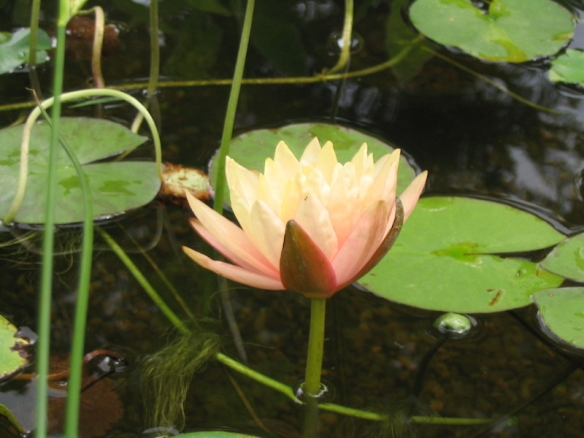 Water Lily Koi Pond 2